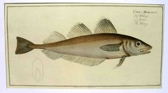 THE WHITING CADUS MERLANGUS